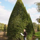Carpinus Betulus Fastigiata Cone