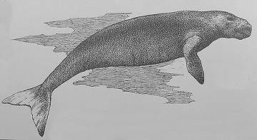 Steller's Sea Cow - discovered in the Aleutian Islands by George Steller while exploring with Vitus Bering in 1741. They grew as large as 35 feet long and weighed up to three-and-a-half tons. Sailors ate their meat and used their leather. They were easily killed and vanished from their only home within 30 years after Steller's discovery. (50Birds 2013)