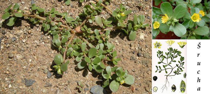 srucha zelna ucinky na zdravi co leci pouziti uzivani vyuziti