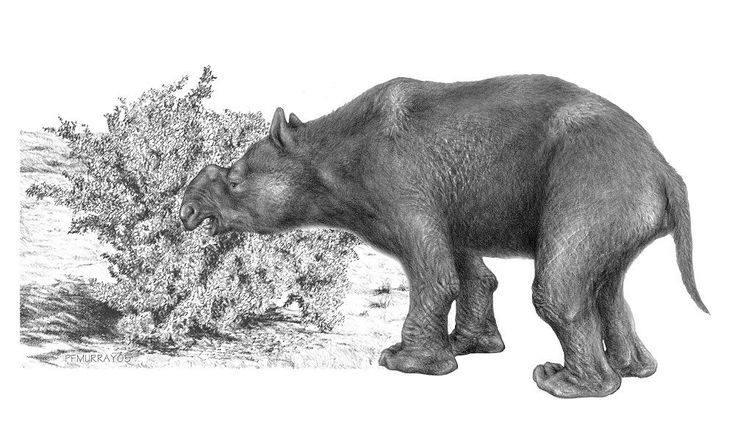 Adult Diprotodon (Diprotodon optatum) a megafauna herbivore weighing approximately 3 tons and 4 meters in length. Part of a Diprotodon bone was found in the Warratyi rock shelter, likely the leftovers from a meal over 45,000 years ago.