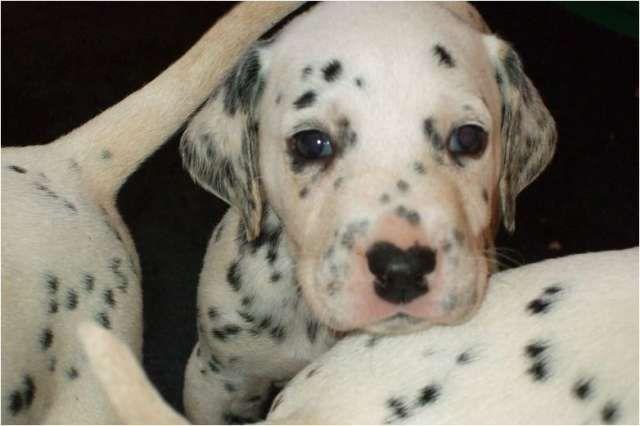 Dalmata criadero colombia venta cachorros dalmata cachorros en venta machos y hembras vacunados y desparasit .. http://bogota-city.evisos.com.co/dalmata-criadero-colombia-venta-cachorros-dalmata-id-338421