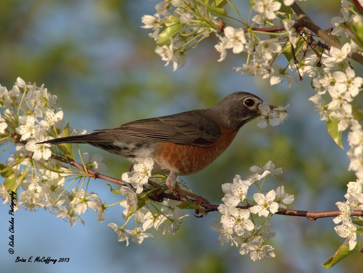 https://flic.kr/p/ebSBxc | Flowers for the nest... | Or his sweetheart...?