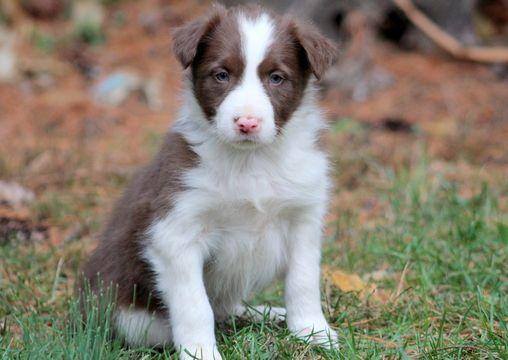 Border Collie puppy for sale in MOUNT JOY, PA. ADN-52552 on PuppyFinder.com Gender: Male. Age: 6 Weeks Old