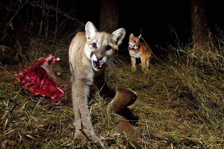 62 best hog hunting images on pinterest hunting stuff hog hunting a remote camera in the santa monica mountains national recreation area captured photos on feb spiritdancerdesigns Choice Image