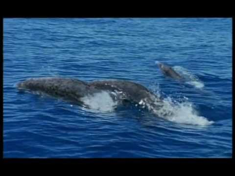 BBC Documentary Walking with Beasts (2-6) - Whale Killer