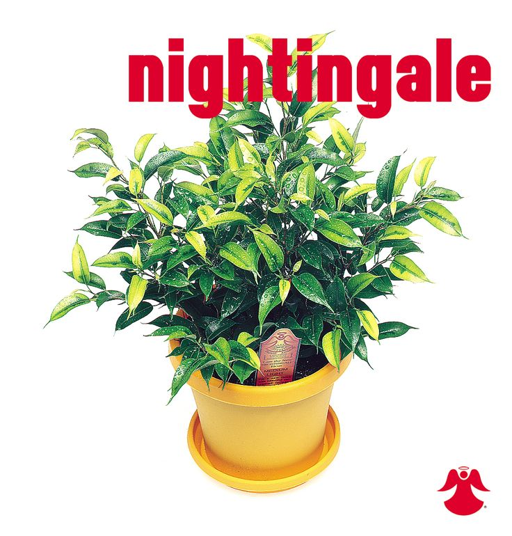 Ficus Nightingale. Ficus Benjamina is the backbone of most house ficus varieties. In nature this graceful tropical tree of dense growth, forming aerial roots, and with branches of somewhat pendant habit originates from India, Southeast Asia and Australia.