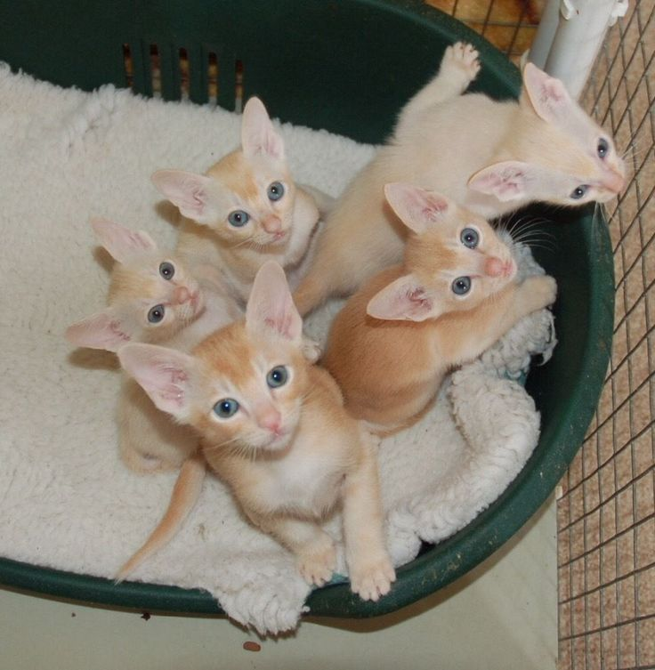 Beautiful Tonkinese Kittens - Pets for Sale | Pets for Sale