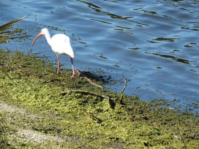 Bird Photos, Birding Sites, Bird Information: WHITE IBIS, MACKLE COMMUNITY PARK, MARCO ISLAND, F...