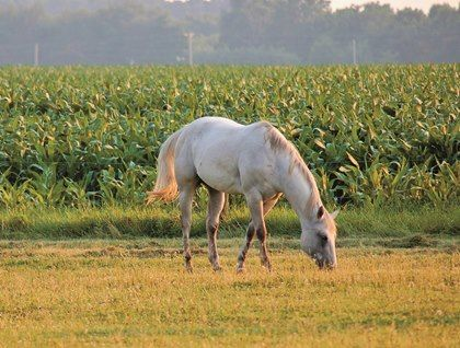 My horses got into a pasture yesterday where deer corn had been spread. Could this be a problem?