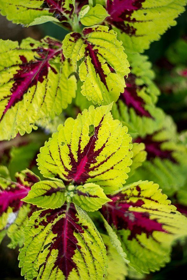 Coleus - A couple of different colors for beside the front door.