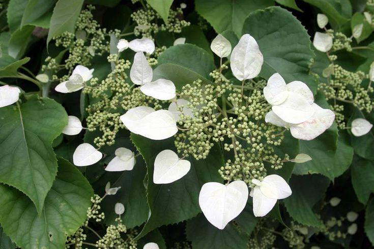 Hortensia trepadora-Hydrangea petiolarisjpg