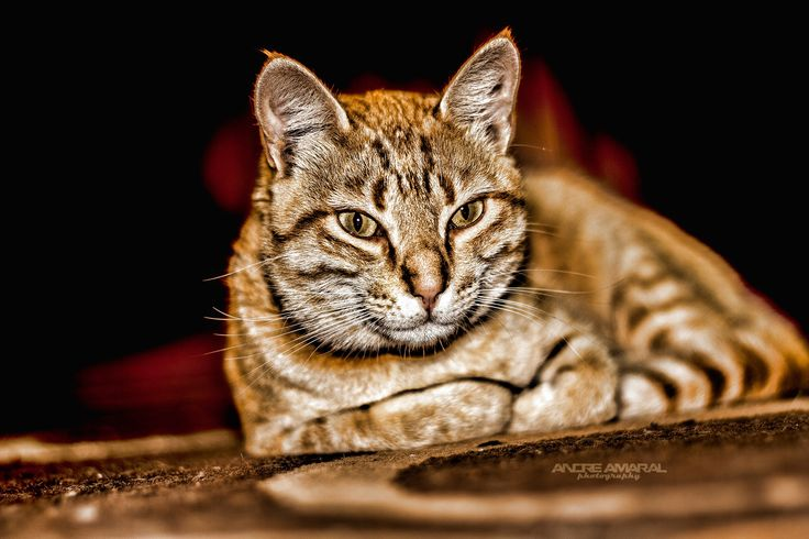 Cat by Andre  Amaral on 500px