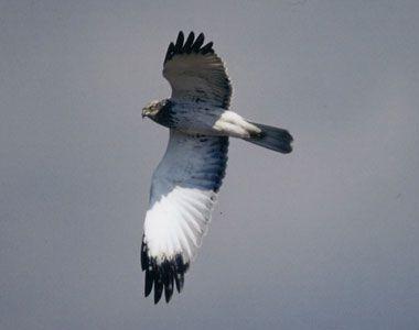 日本野鳥の会 : チュウヒってどんな鳥?