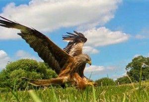 gigrin red kite
