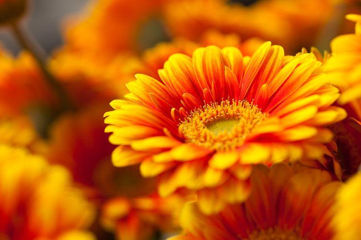 Meet mini gerbera Anita - a flower where red meets yellow. A Beauty with a capital B!