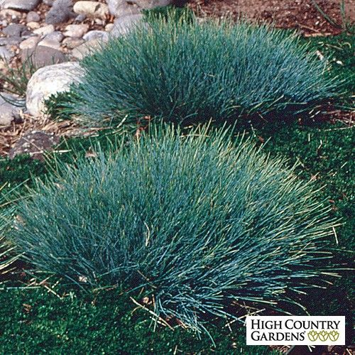 Sea urchin is an aptly named dwarf selection of blue for Dwarf grasses perennials