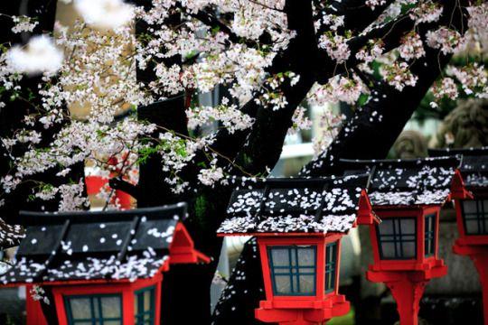 Hanami 2017 - Rain cherry blossoms at Rokusonnō Shrine, by Prado