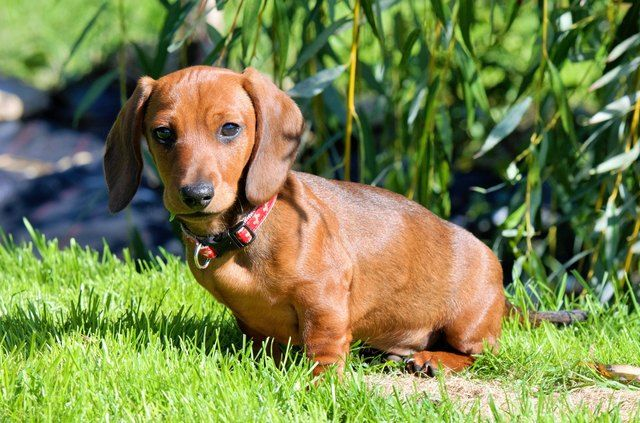 147 Names For Your Dachshund With Images Dachshund Breed