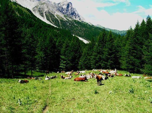 Mucche al pascolo in Val di Susa!