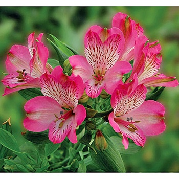 FiftyFlowers.com - Hot Pink Bicolor Peruvian Lily Flower
