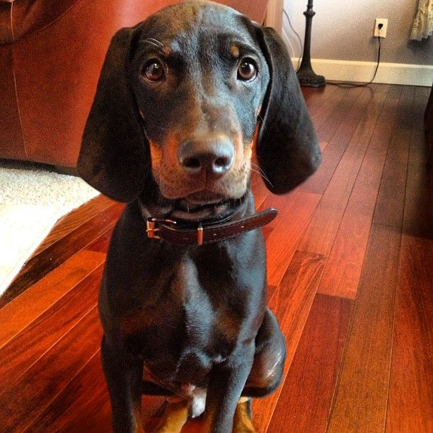 117 best images about Black and Tan Coonhound on Pinterest ... American Black And Tan Coonhound Puppies