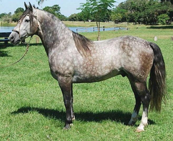 Cavalo Crioulo  Jogo Duro do 38.
