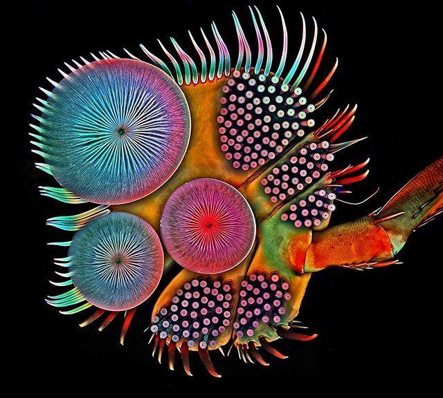 """Dieser Fuß gehört zu einem Schwimmkäfermännchen (Acilius mediatus). So bunt wie auf dem Bild wurde der von Biologen """"Tarsus"""" genannte Käferfuß aber erst durch eine besondere Behandlung für die Aufnahme mit dem Laser-Scanning-Mikroskop.  Aus dem aktuellen GEO 02/2016, jetzt am Kiosk!  Foto: Igor Siwanowicz  #igorsiwanowicz #geomagazin #tarsus #beetle #käfer #tier #animal #natur #nature #microscope"""