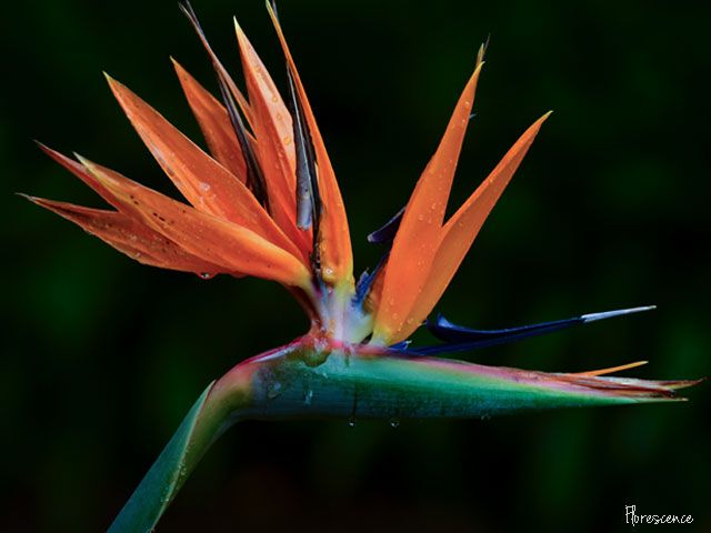 Strelitzia reginae (crane flower, bird of paradise), Pretoria, South Africa (c) Florescence