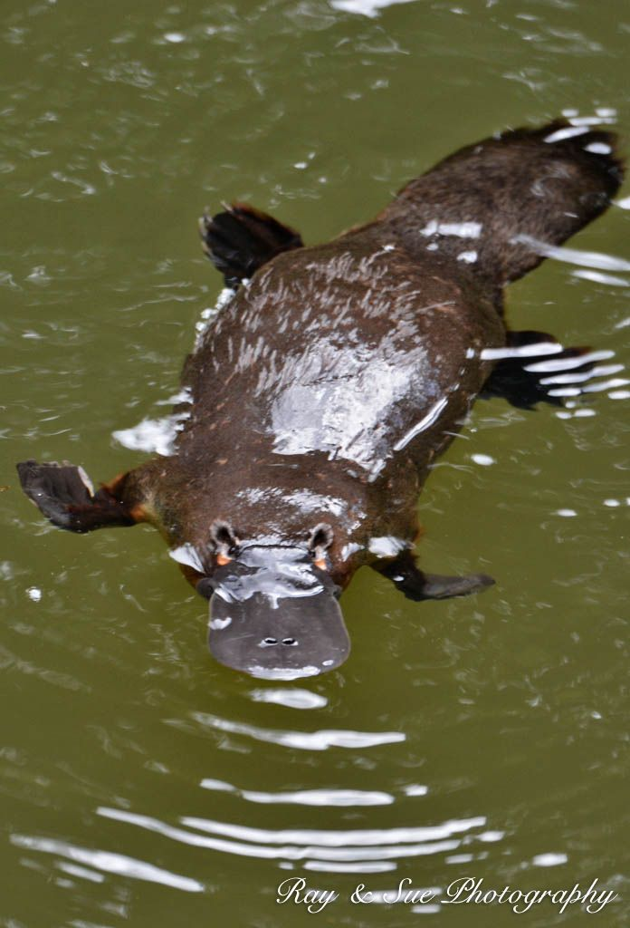 SPOT PLATYPUS IN THE WILD Shy, elusive, easily frightened and creatures of dawn and dusk, the Platypus is notorious for being nearly impossible to spot in the wild. We stay at Broken River Mountain Resort, situated on the bank of Broken River it is the place to stay for ultimate access to the Platypus.
