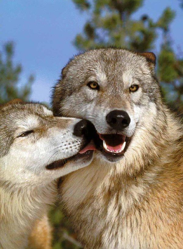 Casal de Lobos em dia de sol se labendo