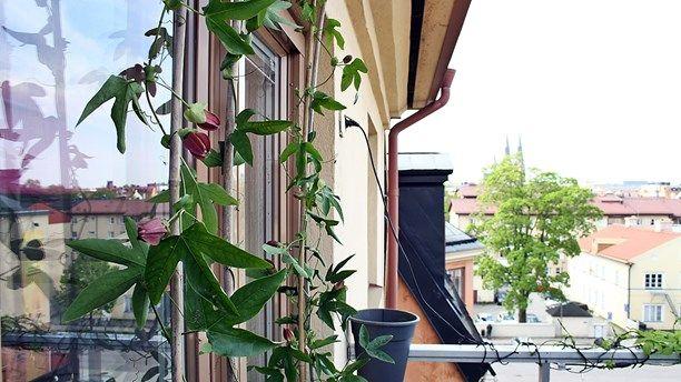 Odla med P1   Sveriges Radio Passionsblomma. Foto: Thomas Artäng/SR balkong passionsblomma balcony