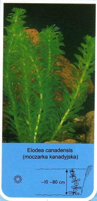 Elodea canadensis (moczarka kanadyjska) - Rośliny wodne, Lilie wodne | Sklep