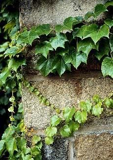 Boston Ivy (Parthenocissus tricuspidata). Perhaps the best and most popular vine for use on stone walls and buildings. Shiny green leaves turn red in the fall. Can grow to 60 feet in time. Likes sun o