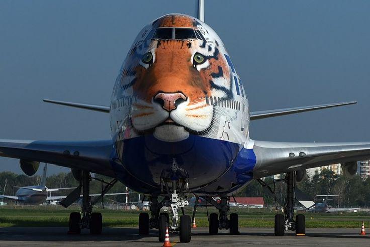 http://www.adme.ru/foto-dnya/v-aeroportu-vnukovo-gulyaet-amurskij-tigr-965660/