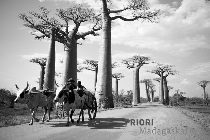 Die Baobab-Allee im Westen Madagaskars ist ein beliebtes Reiseziel und ein besonderes Fotomotiv...auf einer Madagaskar-Reise mit PRIORI wurde dieses eindrückliche und stimmungsvolle Foto gemacht. Copyright Aline Erne.