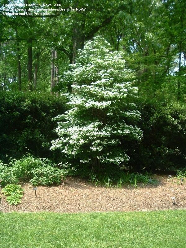 Viburnum plicatum f. tomentosum 'Summer Snowflake'