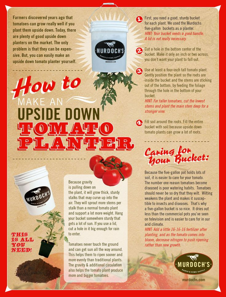 Farmers discovered years ago that tomatoes can grow really well if you plant them upside down. Today, there are plenty of good upside down planters on the market. The only problem is that they can be expensive. But, you can easily make an upside down tomato planter yourself.