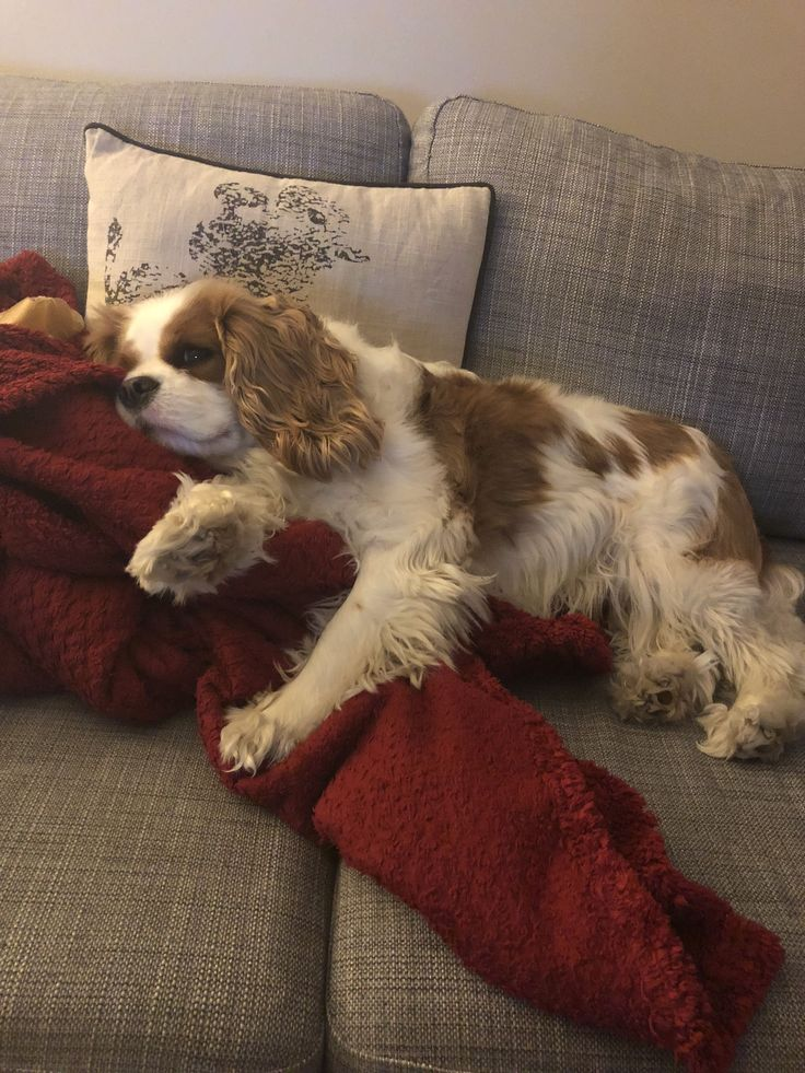 'I'm not moving!' Summer the Cavalier King Charles Spaniel #cavalierkingcharlesspanielpuppy