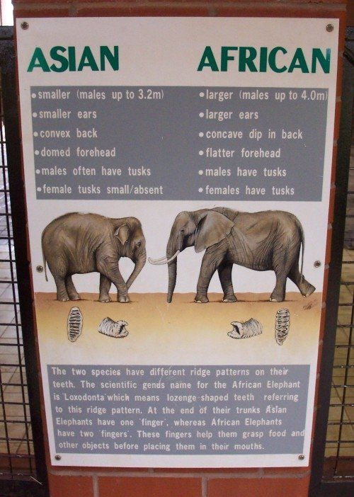 African Elephant Ears | iphone wallpaper rainbow , african rock python florida 2013 , short ...
