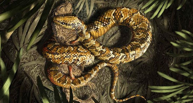 MISSING LINK A fossil of a four-legged snake (shown in this illustration) offers evidence that snakes evolved from lizards. ~~ Julius T. Cstonyi