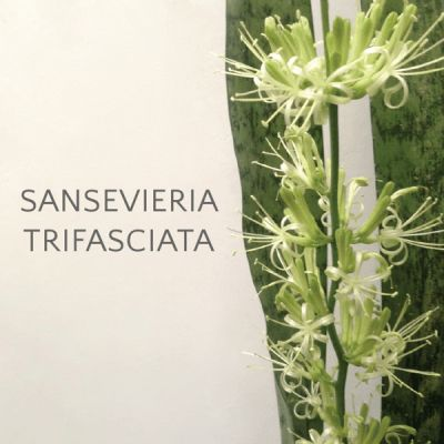 Sansevieria Trifasciata - My Cup of Whimsy