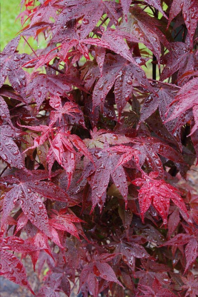 Acer Palmatum, Rhode Island Red