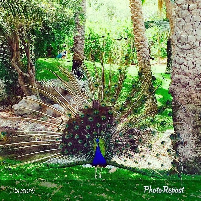 Thanks to @blathny for this stunning picture of a peacock in our #JAJebelAliGolfResort !