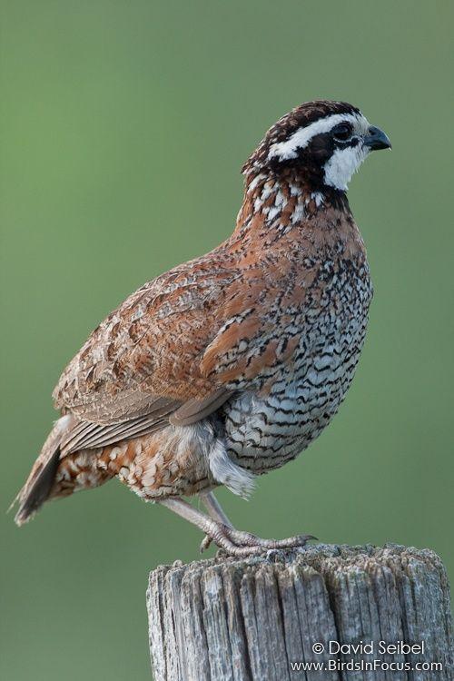 Northern Bobwhite Colinus Virginianus Birds Wild