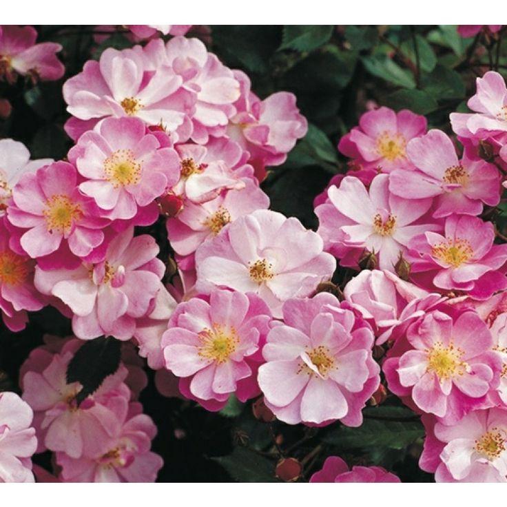 Mörkrosa knoppar som bleknar till purpurrosa rosor med gula ståndare. Ingen doft, men god remontering. Klipp bort vissna blommor för att främja ny blomning. ...