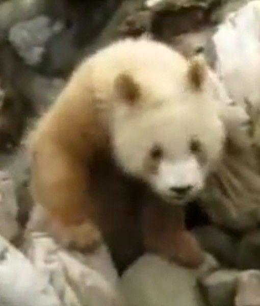 Favori Best 25+ Brown panda ideas on Pinterest | Giant pandas, Rare  OH52