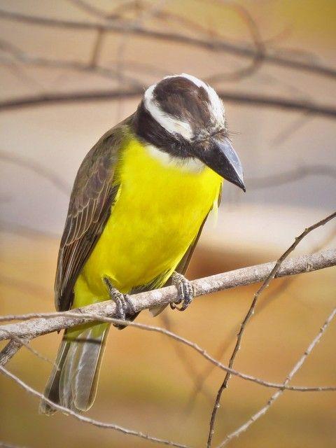 Foto neinei (Megarynchus pitangua) por Carlos Goulart | Wiki Aves - A Enciclopédia das Aves do Brasil