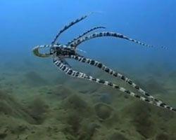 La pieuvre mimétique : imitations comportementales et camouflage ~ Nature extrême
