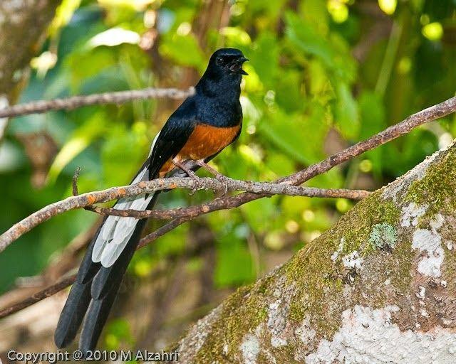 MURAI BATU MEDAN SUPER: Daftar Burung Paling Populer Tahun 2014