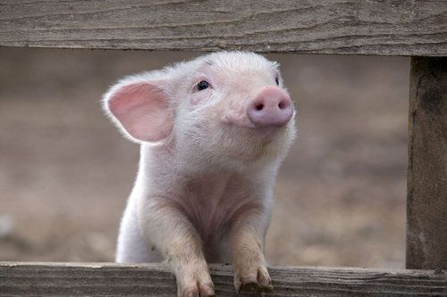 this little piggy is adorable!!!